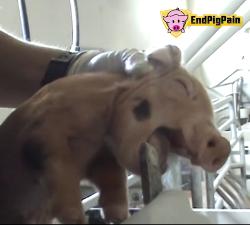 Stop patnji svinja
