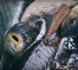 ribe - video Marine Uzelac