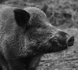 Against the Shooting of Wild Boars
