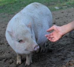 svinja rozika